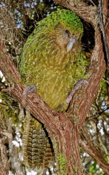 Совиный попугай